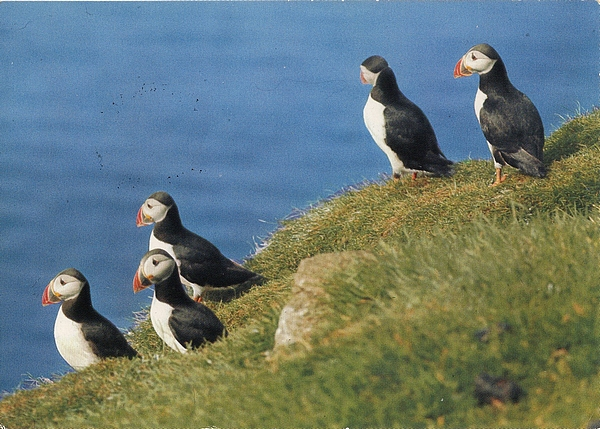 Atlantic Puffin - Lundar á eggini