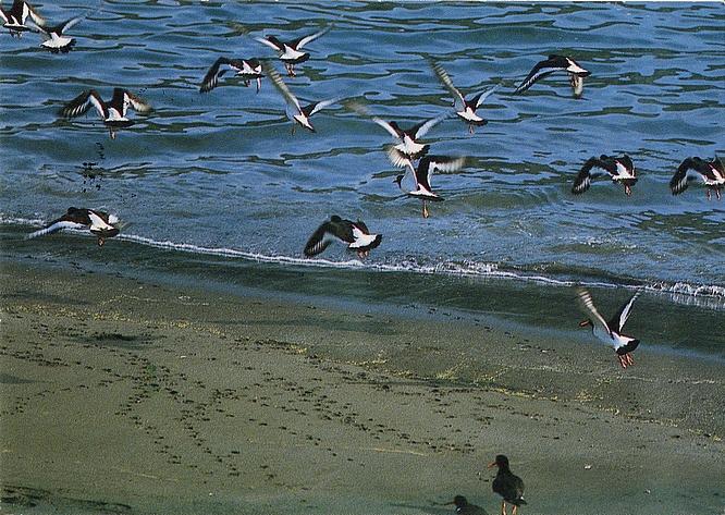 Ansichtskarte - Austernfischer - oystercatcher